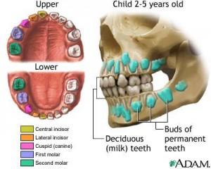 Classification of milk teeth by nlm.nih.gov