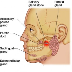 The major salivary glands © Reed Group