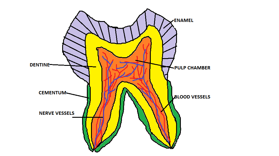 The permanent tooth bud will continue to grow into the permanent teeth after ...