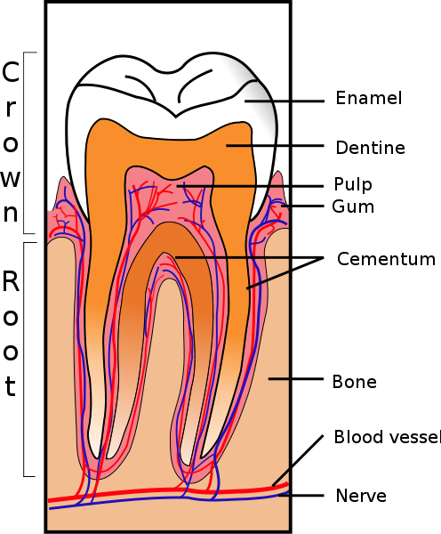 496px Tooth Section.svg  Dental Infection Caused by Root Canal