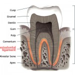 periodontal ligament en 150x150 What Is the Purpose of a Root Canal Treatment?