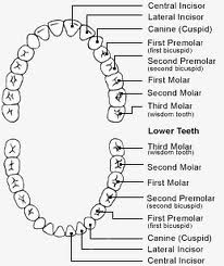 dentition2 How Are Teeth Numbered in the Human Mouth?