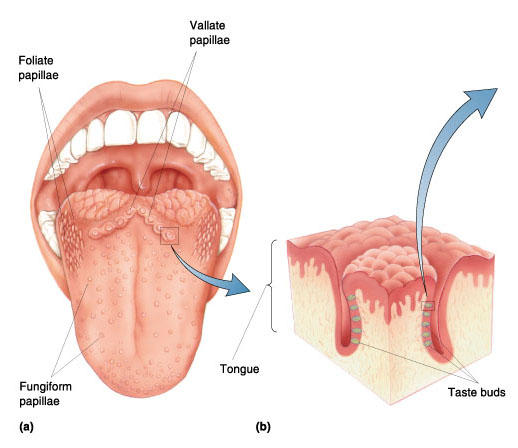 Types Of Papillae On The Tongue Intelligent Dental