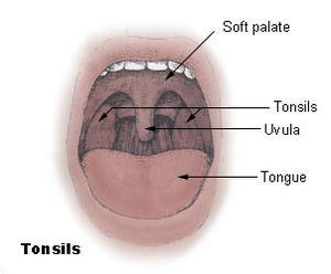Diagram of the palatine tonsils from U.S. Nati...